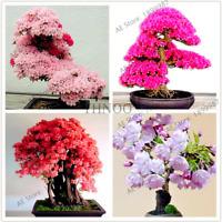 10 PCS Seeds Japanese Cherry Blossoms Sakura Plants Perennial Bonsai Home Garden