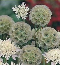 F0426 Scabiosa Stellata Drumsticks x15 seeds, Great For Drying
