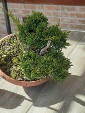 bonsai prebonsai SHOHIN di Ginepro Itoigawa