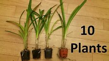 10 Plants Agapanthus Africanus, White Lily of the Nile, LIVE POTTED Plant