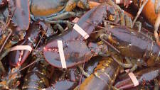 Get Maine Lobster - 30 Live Maine Lobsters (1.1-1.2lb each) w/ FREE SHIPPING