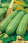 SQUASH ITALIAN GENOVESE, ORGANIC SEEDS, HEIRLOOM, NON GMO, ZUCCHINI FRESH