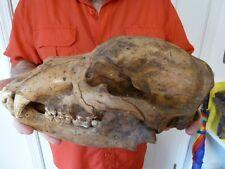 (CAVE-256) EXTINCT Romania Museum Fossil Juvenile CAVE BEAR skull teeth Romanian