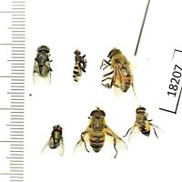 Beetle, flies, 18207, Diptera sp., 6pcs from Southern Russia