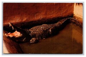 Everglades, FL Florida, Native Florida Alligator, Postcard