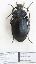 Carabus carabus catenulatus (female A1) from CROATIA