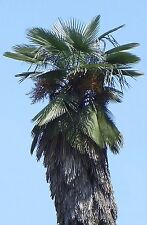 Trachycarpus Takil-Medicinal Palma - 10 Semillas Frescas