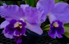 Cattleya Blue Sky Dream NEW Duft Orchidee Orchideen