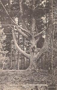 North Conway, NEW HAMPSHIRE - Sanctuary Pine - 1908