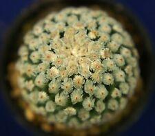 PELECYPHORA VALDEZIANA ALBIFLORA =1/3= cacti 仙人掌 กระบองเพชร kakteen #4886