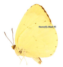 Unmounted Butterfly/Pieridae - Eurema hecabe solifera, male, CAR, A2