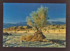 NATURE Smoke Tree in Desert Wash CONTINENTAL  postcard