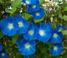FLOWER MORNING GLORY IPOMOEA HEAVENLY BLUE  550 SEEDS