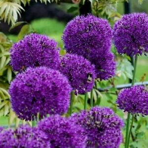 10 x Allium Purple Sensation - Flower Bulbs - Spring Flowering Bulb