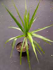 Madagascar Dragon Tree (Dracaena marginata) Rooted Plant