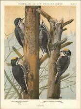 THREE-TOED WOODPECKER BIRDS by Louis A Fuertes, vintage print authentic 1932