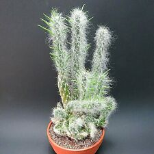 Austrocylindropuntia vestita fa. cristata, 24,0 cm große ältere Pflanze (8213)