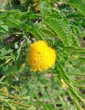 ACACIA DEALBATA BONSAI 25 semi V mimosa albero Argento acacia 90050