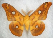 "Insect/Moth/ Phondinia fugax diana - Male 2.5"" Rare"