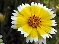 500 TIDY TIPS Layia Platyglossa Flower Seeds +Free Gift