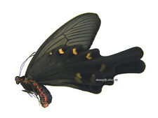 Unmounted Butterfly/Papilionidae - Atrophaneura alcinous ssp., male, A1/A-