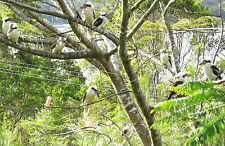 RARE FRIENDS 10 KOOKABURRAS ON POINCIANA TREE, LAKE TINAROO, TROPICAL AUSTRALIA*