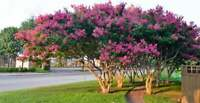 4 Pack - Your Choice of Crape Myrtle Trees, Spectacular Blooms all Summer Long