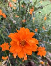 Cosmos- Sulphur Orange- 50 Seeds- Bright Orange 2020 Harvest