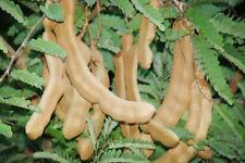 50 Sour Tamarind Seeds Thai Herbs