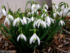 6 SNOWDROPS Galanthus NIVALIS BULB BEAUTIFUL SPRING SUMMER FLOWER PERENNIAL