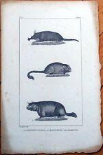 Mole/Muscardin/Marmot 1830s French Animal Print - La Taupe du Canada, Marmotte