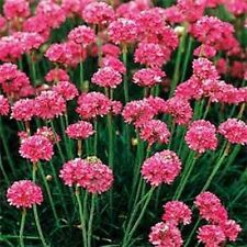 Armeria Seeds Maritima Splendens 100 Flower Seeds Perennial