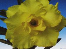 """ADENIUM OBESUM DESERT ROSE """"Happy Golden"""" 100 Seeds"""
