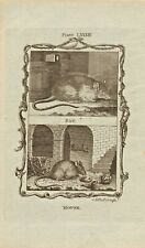 "1785 copper engraving  -  buffons natural  history. ""  mouse/ rat  """