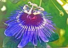 Passiflora amethystina Cor de Pedro 10 seeds