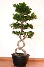 Bonsai Ficus Ginseng S Shape, Altezza 90/95 cm