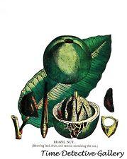 Botanical Illustration of the Brazil Nut Tree Leaf & Fruit