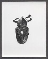 Unusual Vintage Photo Beetle Bug Scientific Specimen Entomology 258110