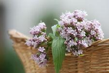 / die Blüten verströmen einen beruhigenden Duft in ihrer Umgebung: Baldrian !