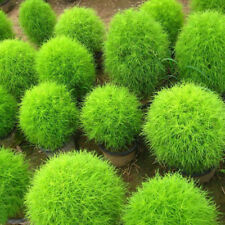 Ornamental 100pcs Green Kochia scoparia Grass Seeds High Medicinal Values F013