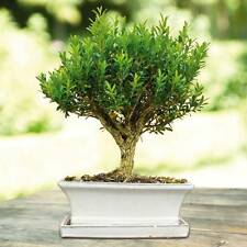 20 Common Boxwood (Buxus Sempervirens) Shrub Tree Seeds,Exotic Rare Bonsai Seeds