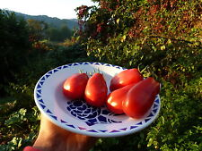 15 graines semences  tomate SAN MARZANO  rouge ancienne Tomato  Seeds Bio