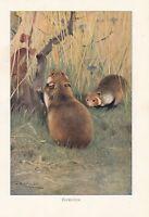 C1914 Naturel History Imprimé~Hamster~Lydekker