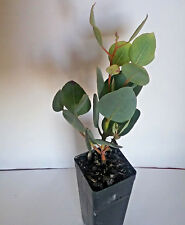 Eucalyptus pyriformis x youngiana GUM TREE in 50mm forestry tube native plant