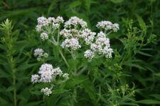 Common Boneset (Eupatorium perfoliatum) 300 Seeds