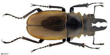 Coleoptera Lucanidae Odontolabis dalmani Indonesia Sumatra male 62mm