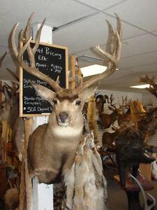 MULE DEER, TAXIDERMY, shoulder mount, tanned, antlers, hides, elk,