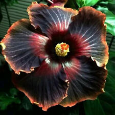 50pcs Rare Giant Hibiscus Seeds Black Flower Garden Home Perennial Potted Plants