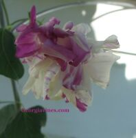 Morning Glory Ipomoea Peppermint Twist Hige 6 seeds
