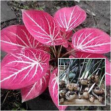 Caladium 1 Bulb Queen of the Leafy Plants ''Khongkhwan'' Colourful Tropical